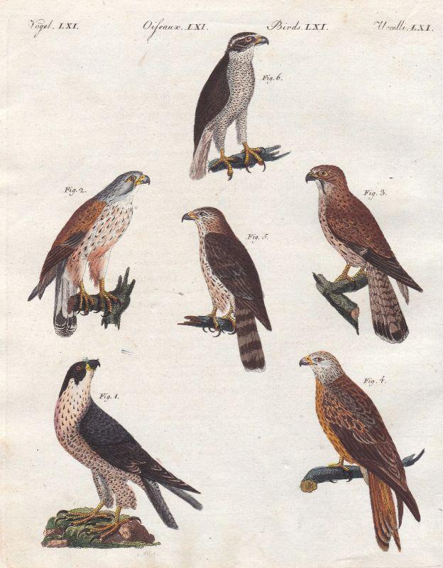 Raubvögel birds of prey Falken hawks hawk Falke Vögel birds Vogel Bertuch 1800 0