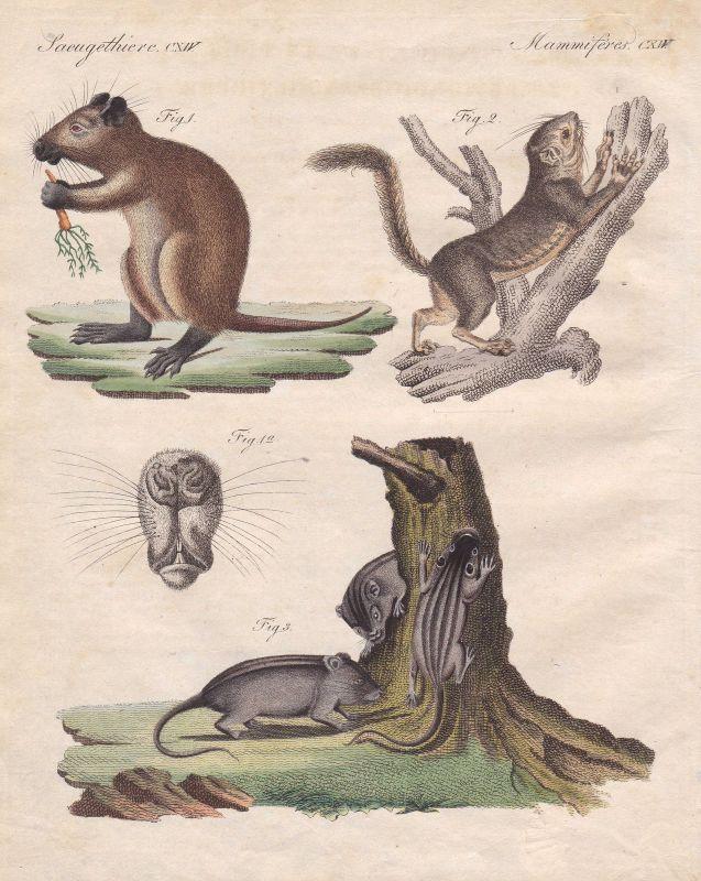 Zwergmaus harvest mouse Maus mice Mäuse Eichhörnchen squirrel Bertuch 1800