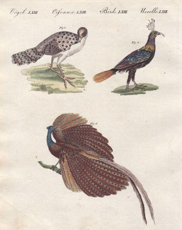 Pfau peacock Fasan pheasant Vögel birds Vogel bird Argusfasan Bertuch 1800