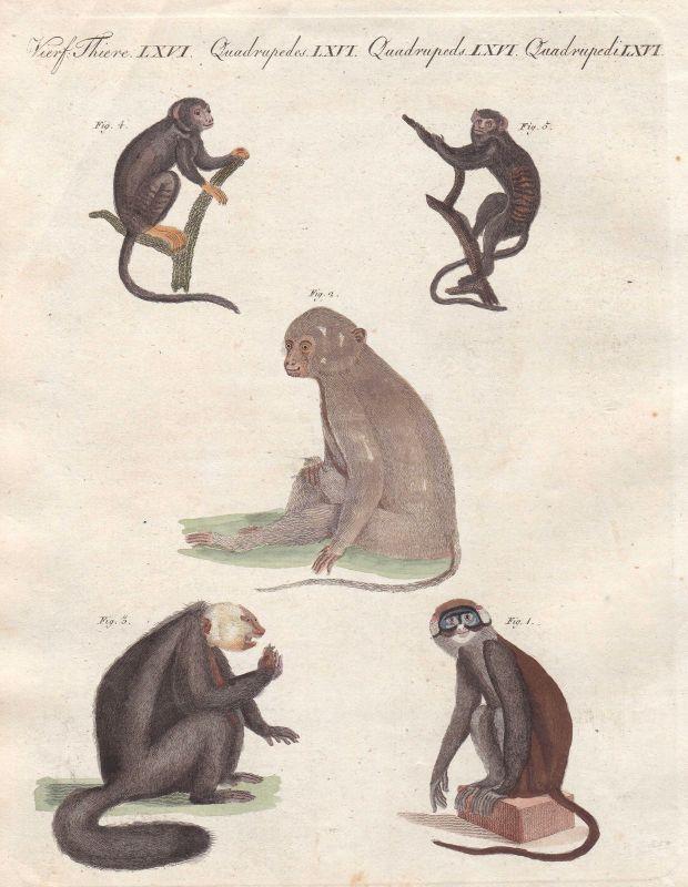 Affe monkey Affen monkeys Rußmangabe sooty mangabey Primat primate Bertuch 1800