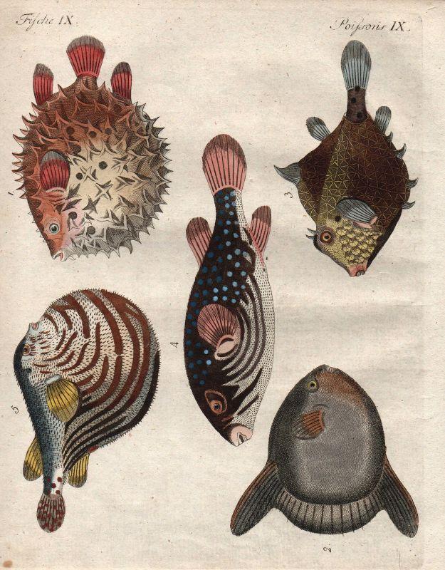 Kugelfische Mondfisch sunfish Fische fish Fisch Bertuch Kupferstich 1800