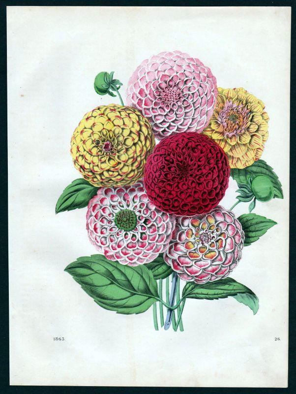 1863 Dahlien Dahlia Georginen Botanik botany Lithographie lithograph flower