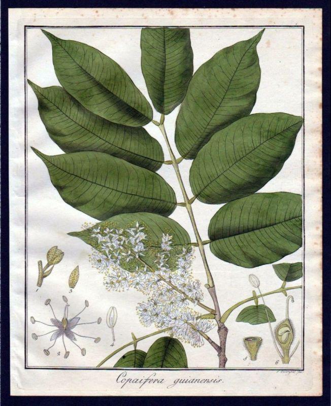 Ca. 1830 Copaifera Baum Botanik botany Kupferstich engraving antique prin 110259