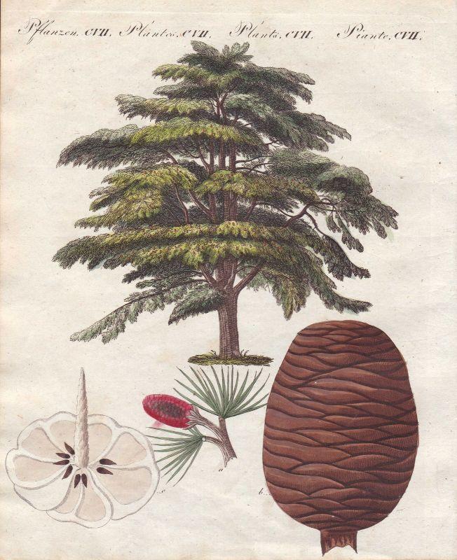 Libanon-Zeder Lebanon cedar Zeder Baum tree Pflanze plant Pflanzen Bertuch 1800