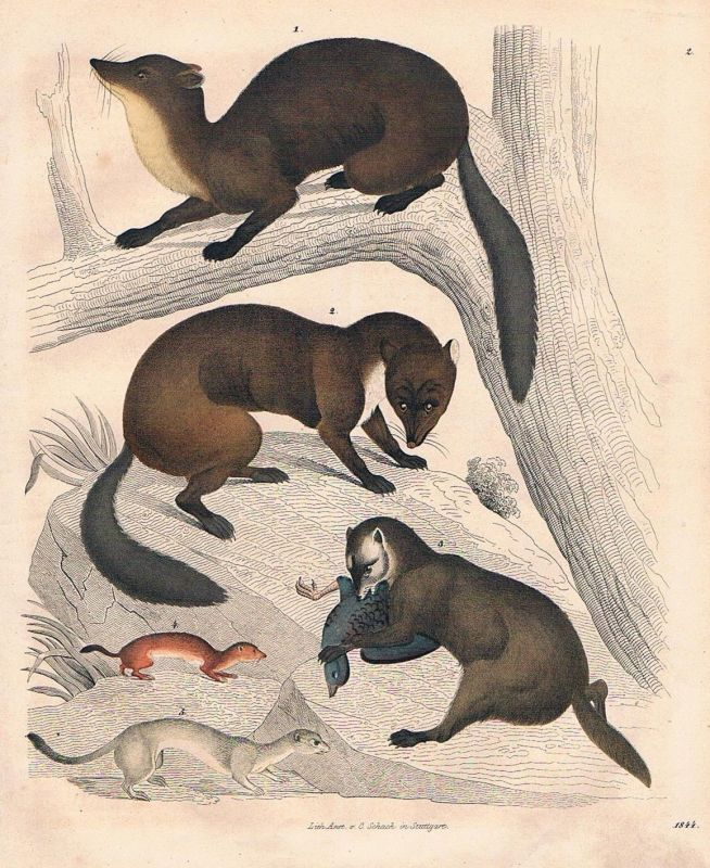 1844 - Marder Iltis marten Jagd hunting Lithographie lithograph