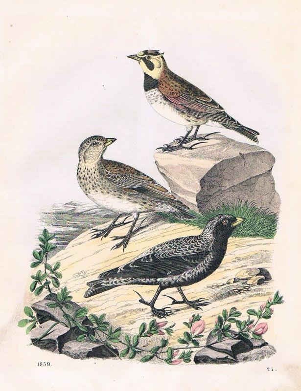 1859 - Lerche Lerchen Vogel Vögel bird birds Lithographie lithograph