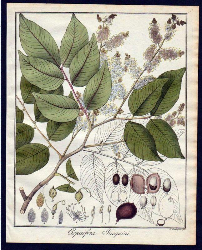 Ca. 1830 Copaifera Baum Botanik botany Kupferstich engraving antique prin 110260