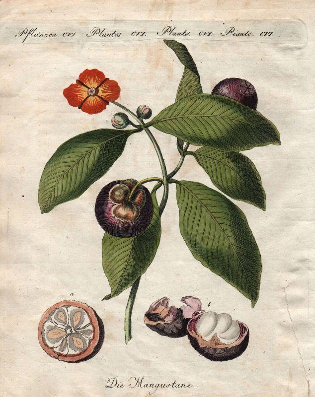 Mangostane Baum mangosteen tree Fruit Obst Botanik botany Bertuch 1800