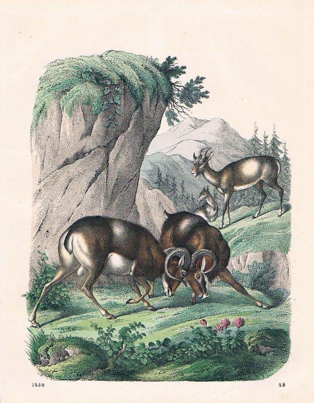 1859 - Mufflon Wildschaf Schaf sheep Lithographie lithograph