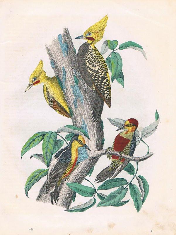 1859 - Specht Spechte woodpecker Brasilien Brazil  Lithographie lithograph