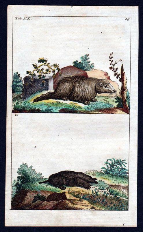 1800 Murmeltier Maulwurf marmot talpidae mole Kupferstich engraving antique