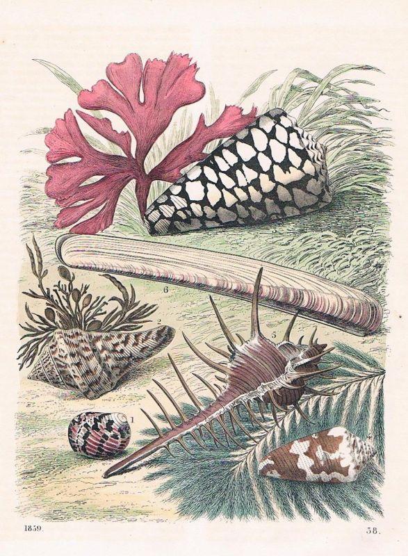 1859 - Muschel Muscheln Conchylien mussels Lithographie lithograph