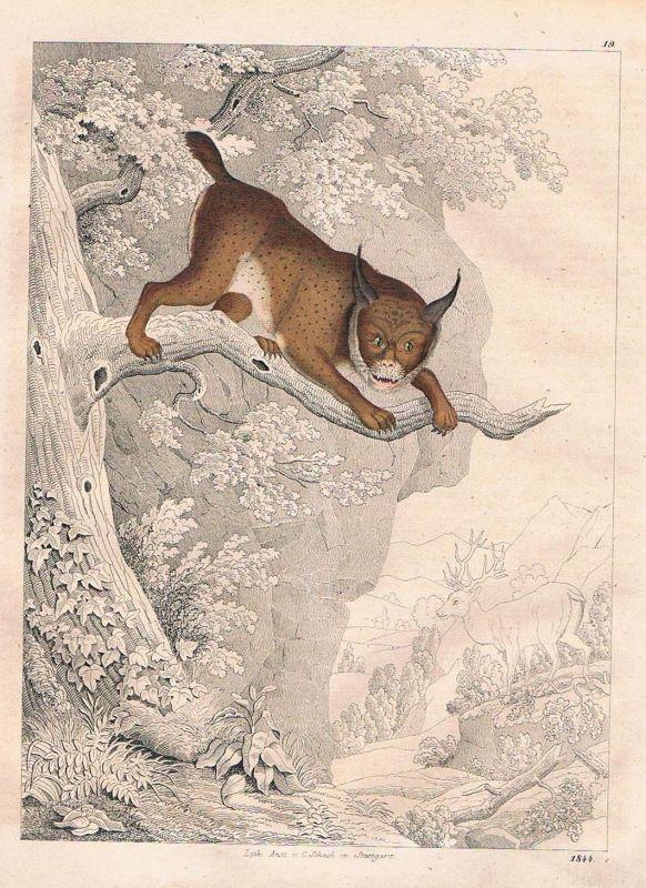 1844 - Luchs lynx Luchse Lithographie lithograph