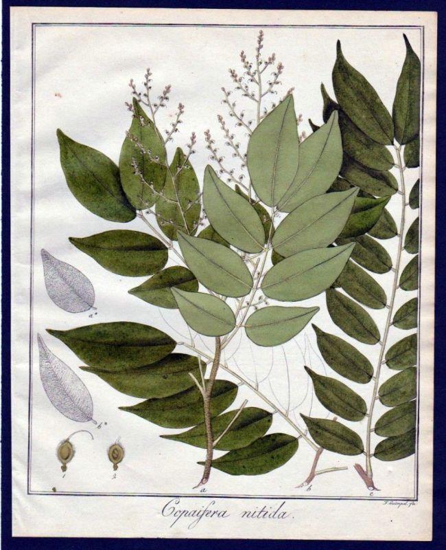 Ca. 1830 Copaifera Baum Botanik botany Kupferstich engraving antique prin 110263