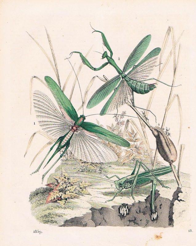 1859 - Heuschrecke Heuschrecken grasshopper Lithographie lithograph