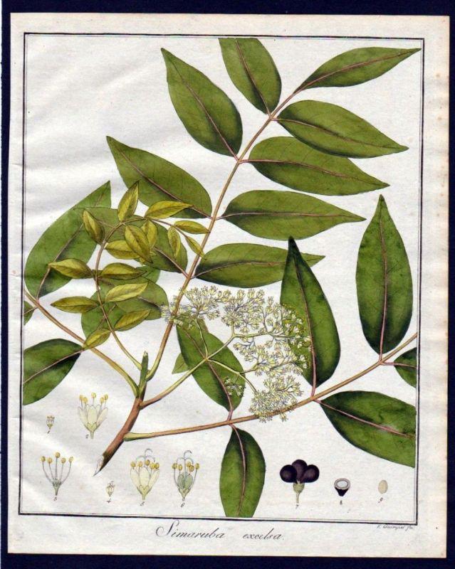 Ca. 1830 Weißgummibaum copperwood Kupferstich engraving antique print