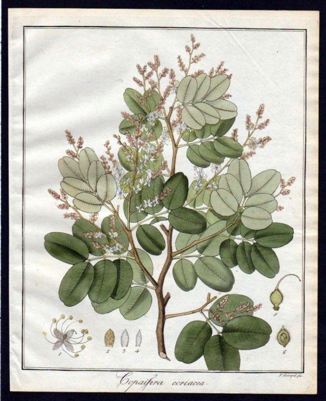 Ca. 1830 Copaifera Baum Botanik botany Kupferstich engraving antique prin 110265