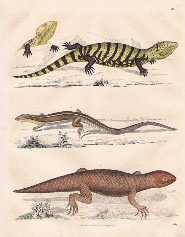1844 - Eidechse Eidechsen lizard Lithographie lithograph