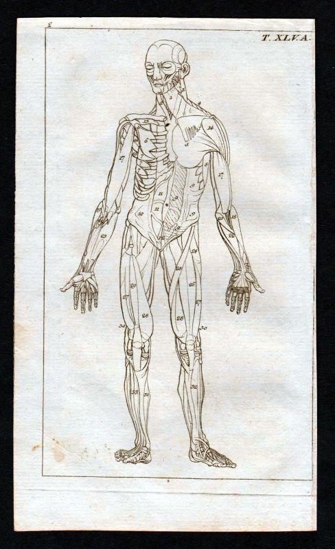 Ca. 1800 Muskeln muscles Körper Anatomie anatomy Medizin medicine ...