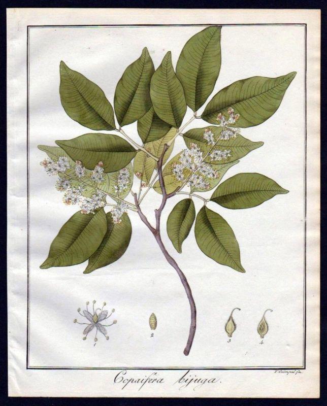 Ca. 1830 Copaifera Baum Botanik botany Kupferstich engraving antique prin 110262