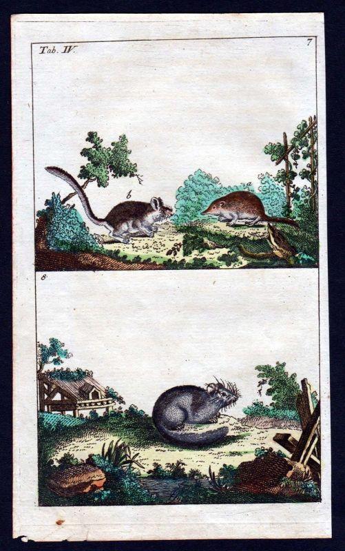 1800 Feldmaus Siebenschläfer Maus vole dormouse mouse Kupferstich antique print