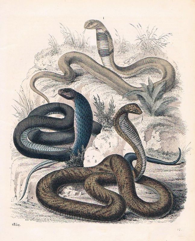1859 - Aspis Giftschlange Schlange snake poison Lithographie lithograph