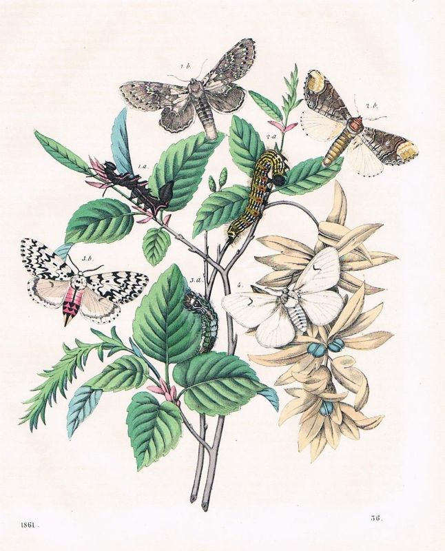 1861 - Hainbuche Schmetterlinge butterfly Raupe Lithographie lithography