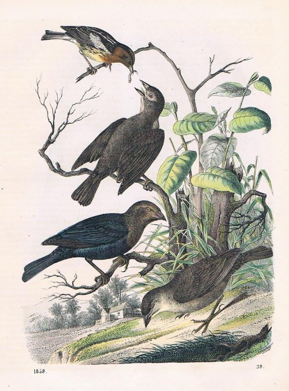 1859 - Kuhvogel Sperling Vogel Vögel birds bird Lithographie lithograph