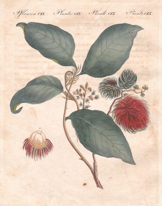 Rambutan rambutan Buam tree Pflanze plant Pflanzen plants Bertuch 1800