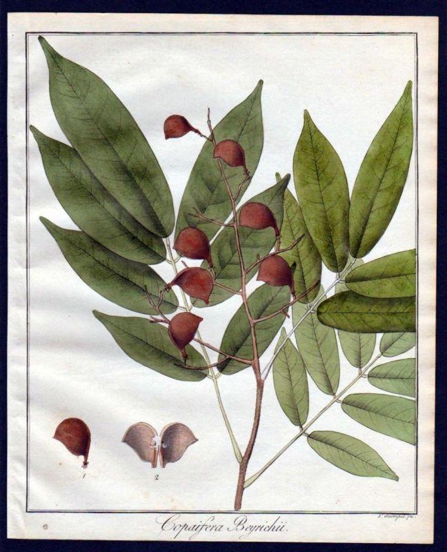 Ca. 1830 Copaifera Baum Botanik botany Kupferstich engraving antique prin 110258