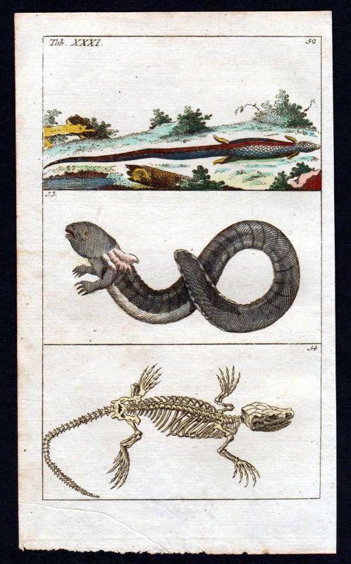 1800 Eidechse lacertidae lizard Kupferstich engraving antique print 110417