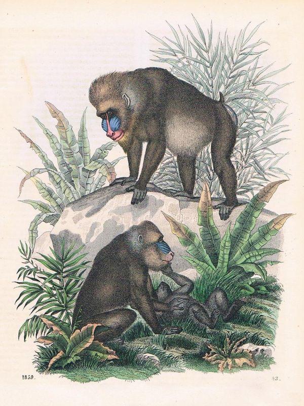 1859 - Mandrill Affe Affen monkey Lithographie lithograph