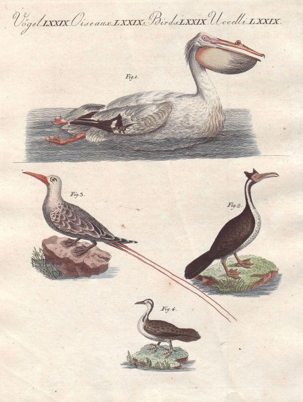 Pelikan pelican Schlangenhalsvögel darter Tropikvögel Vogel bird Bertuch 1800