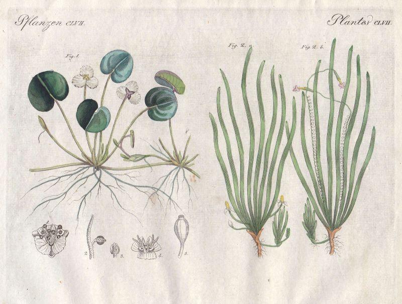 Froschbiss Wasserschrauben vallisneria Pflanzen plant Pflanzen Bertuch 1800