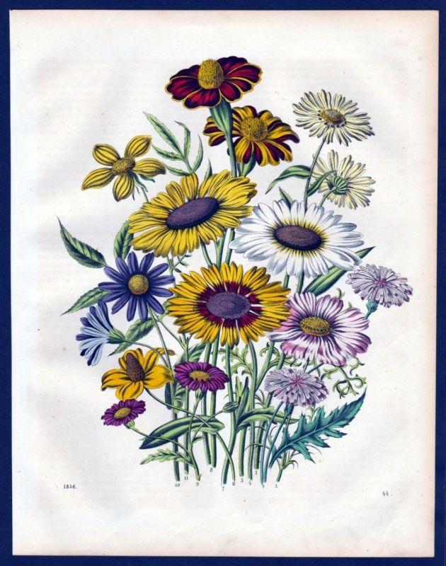 1856 - Sommerblumen summer flowers flower Blumen Lithographie lithograph