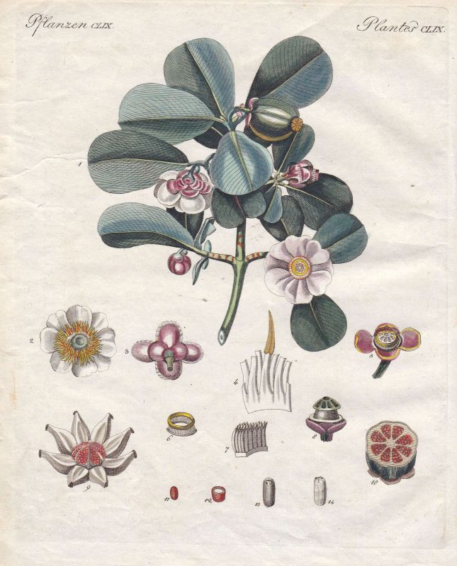 Balsamapfel clusia Pflanzen plants Pflanze plant Blume flower Bertuch 1800