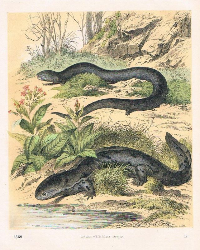 1869 - Salamanderfisch Axolotl Amphibien Lithographie lithography