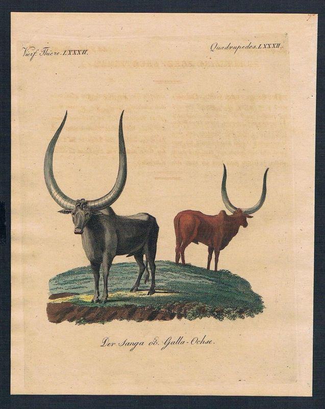 1800 - Sanga-Ochse Galla-Ochse ox  engraving Kupferstich Bertuch