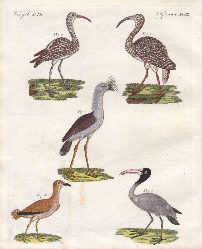 Brachvögel curlew Pelikan pelican cariama Rotfußseriema Vogel bird Bertuch 1800