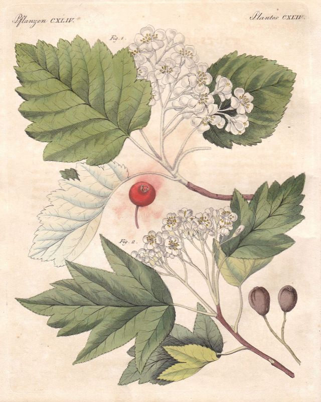 Mehlbeeren Sorbus Vogelbeeren rowanberry Baum tree Pflanze plant Bertuch 1800