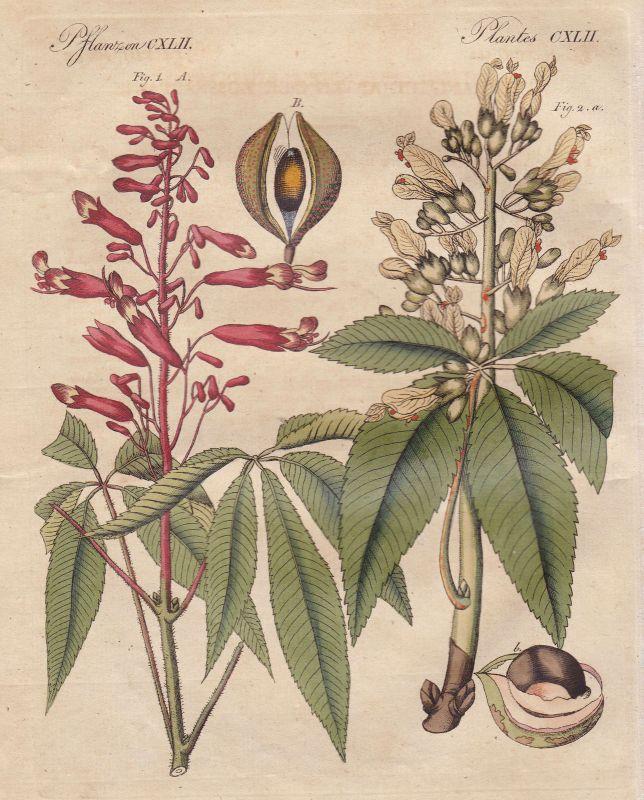 Kastanien Kastanie chestnut castanea Pflanze plant Pflanzen plants Bertuch 1800