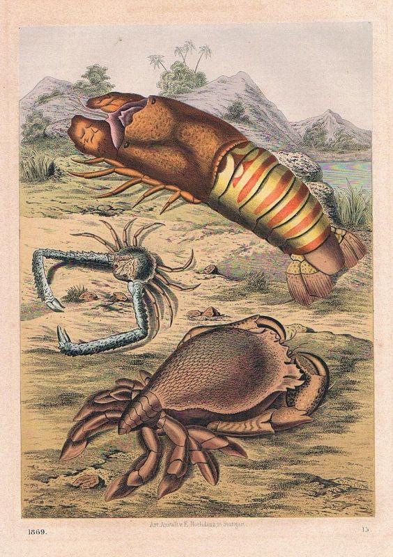 1869 - Krabben Krabbe Krebs cancer crab Indien India Lithographie lithography