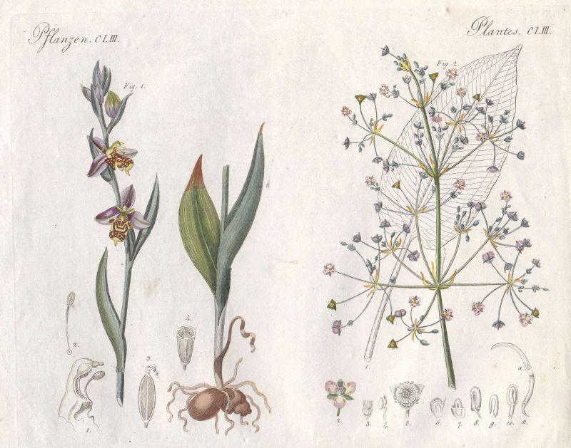 Ragwurzen ophrys Froschlöffel plantain Pflanze plant Pflanzen Bertuch 1800