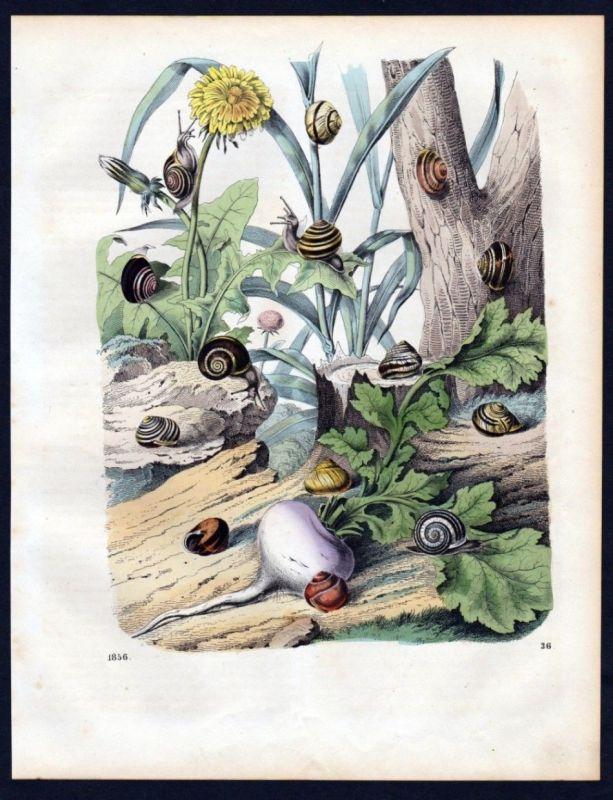 1856 - Schnecke Schnecken Schneckenhaus snail shell Lithographie lithograph