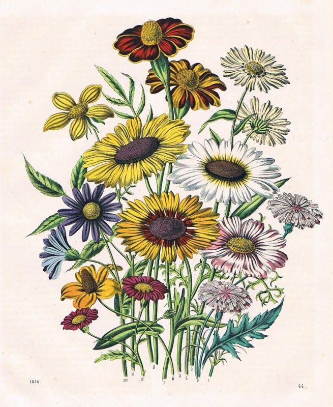 1856 - Sonnenblume Sonnenblumen Blumen flowers Lithographie lithography