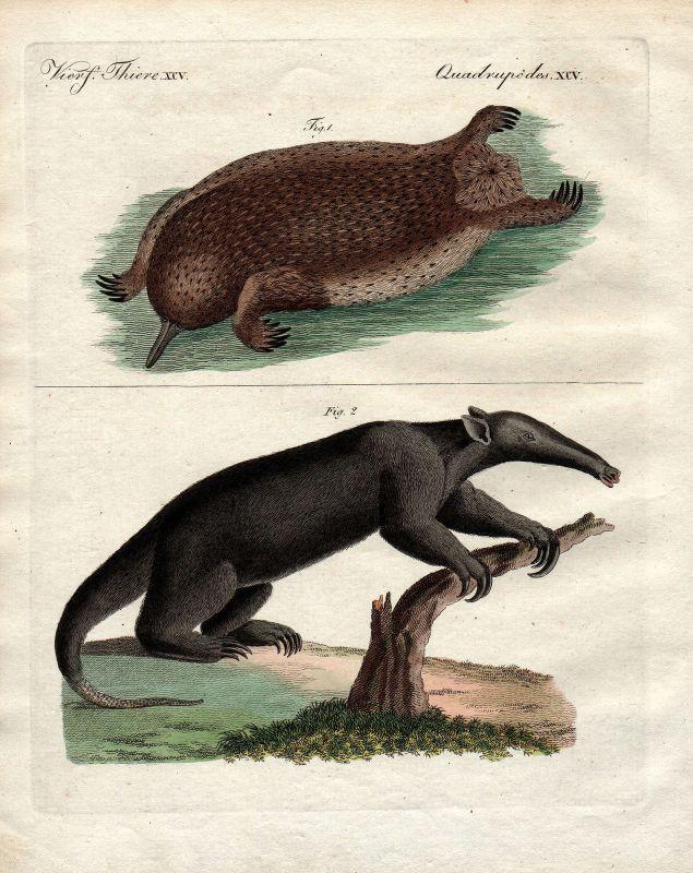 Ameisenigel Echidna Ameisenfresser anteater Bertuch Kupferstich 1800