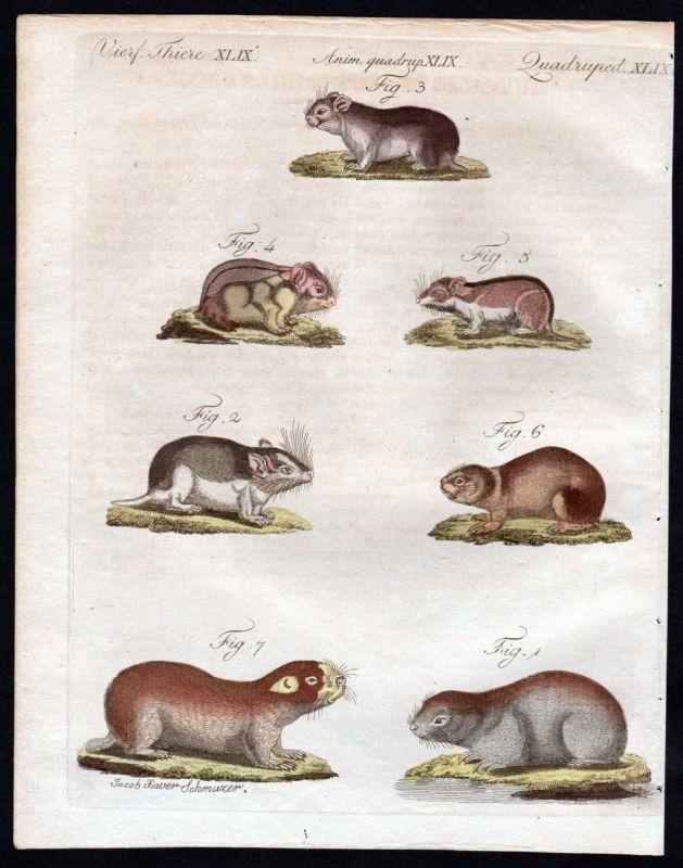 1806 - Fleckmaus Mäuse Maus mouse Blesmoll Kupferstich engraving Bertuch
