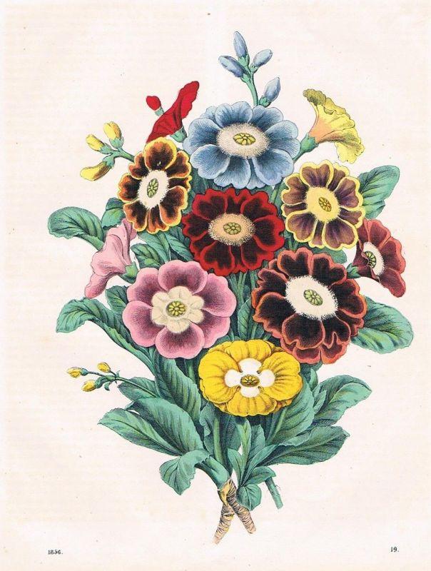 Aunkeln Hahnenfußgewächs Blumen flower plant Lithographie lithography