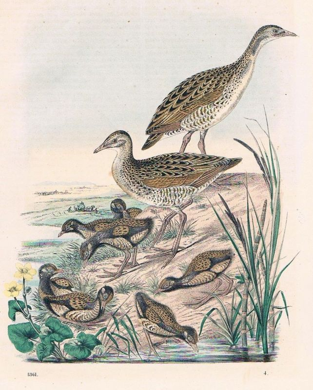 1861 - Wachtelkönig Wachteln Kücken Vögel Vogel birds Lithographie lithography