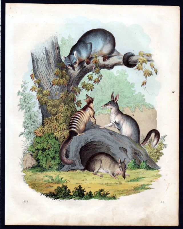 1858 Beuteltiere Beuteltier marsupial mammalia Lithographie lithograph 0